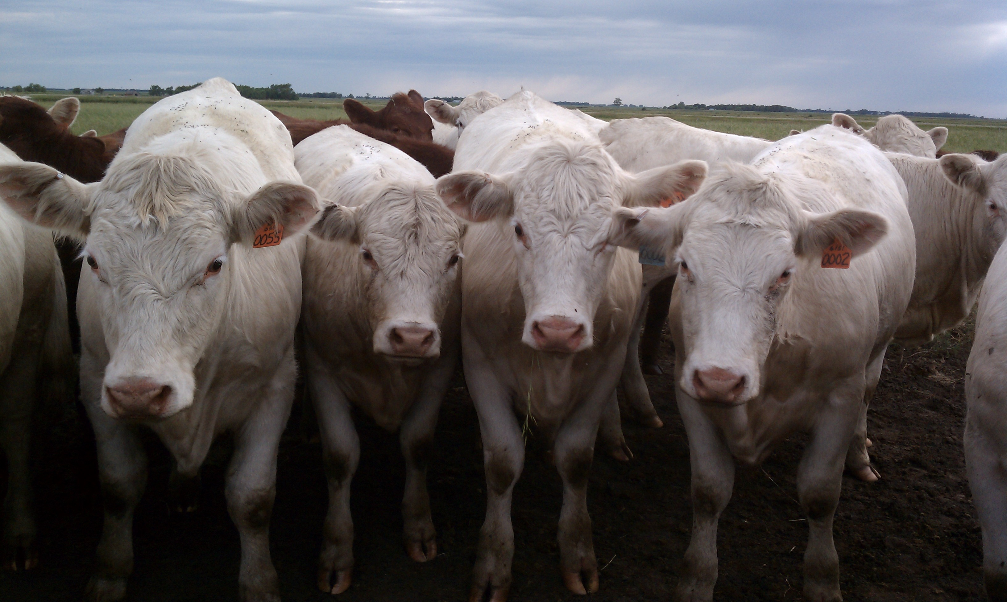 A group of white cows all looking towards the camera